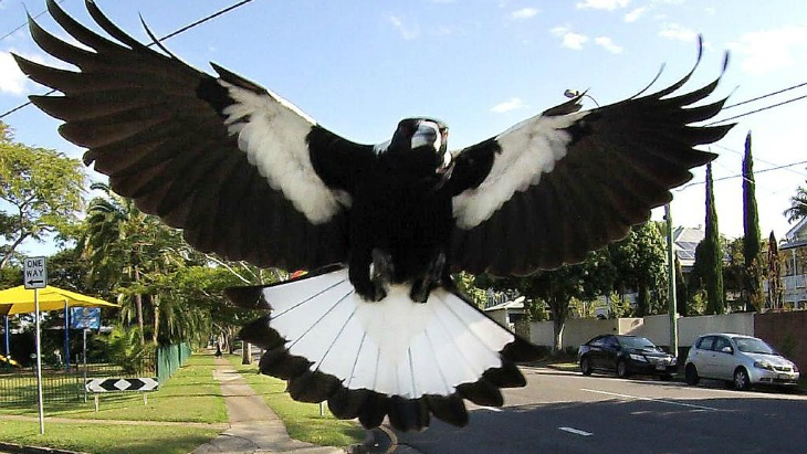 Magpie Season Is In Full Swing Here S How To Survive The